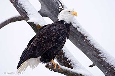Bald Eagle in Snowy Tree