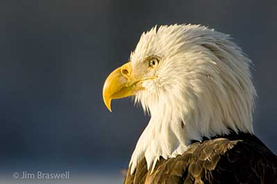 Bald Eagle Closeup Profile