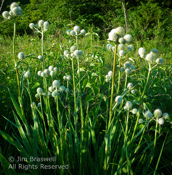 Clump of Rattlesnake Master wildflowers
