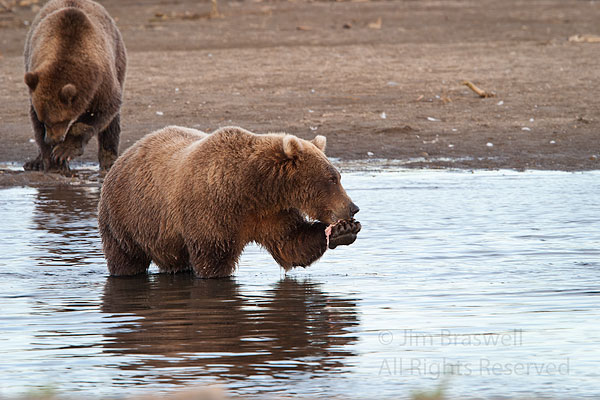 Brown Bear sow and 2 juveniles eating fish in the creek
