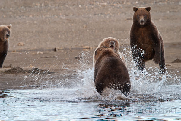 During my first stay at the Hallo Bay Bear Camp (Katmai National Park, Alaska), I was given a uni...