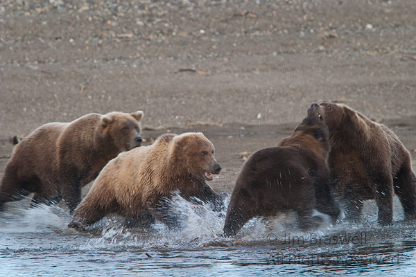 Brown Bears in a fight