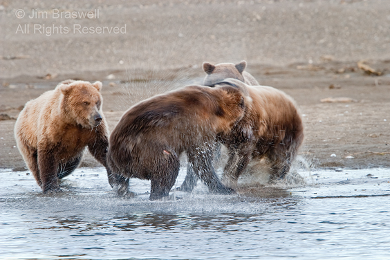 Brown Bear fight