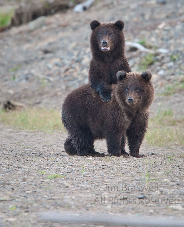 Brown Bear spring cubs watch mom in a fight