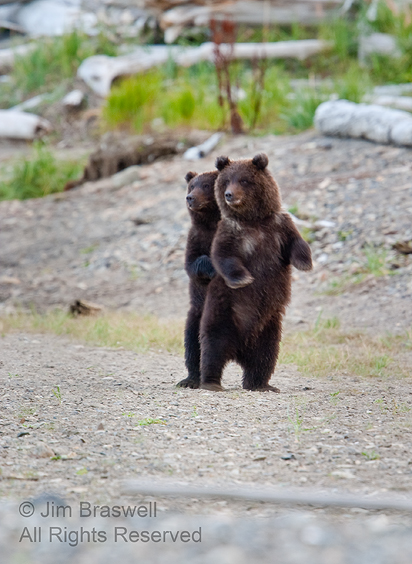 Brown Bear cubs watching mom in a bear fight