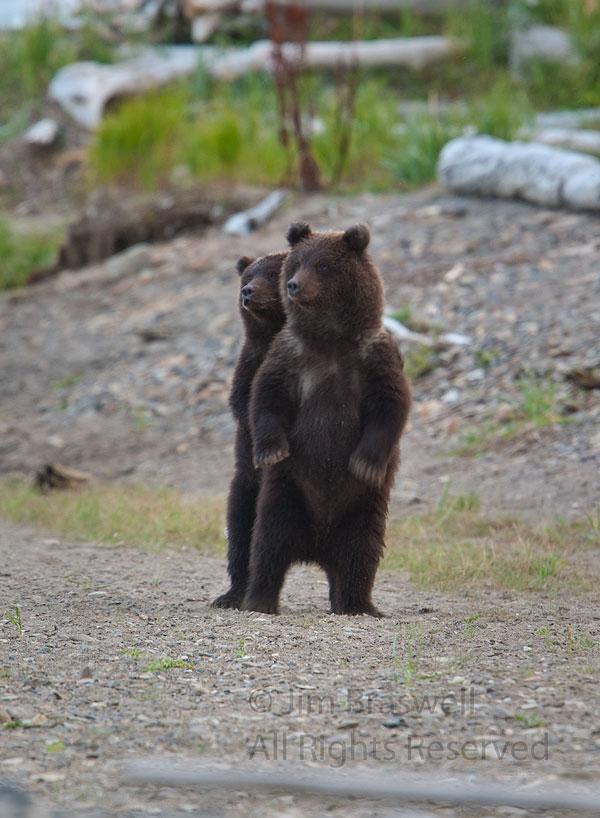 Brown Bear spring cubs watching mom in a fight