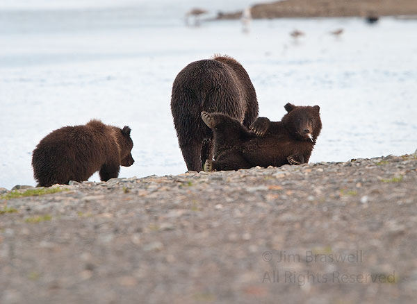 Brown Bear family after the fight