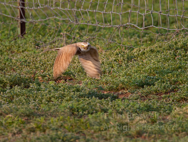 Burrowing Owl flying over the prairie dog town
