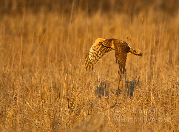 Northern Harrier hunting over a dry marsh