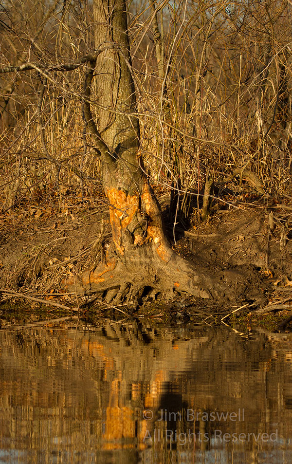 A beaver-damaged tree