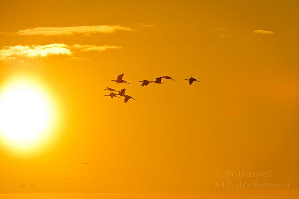 Sandhill Cranes flying in sunset