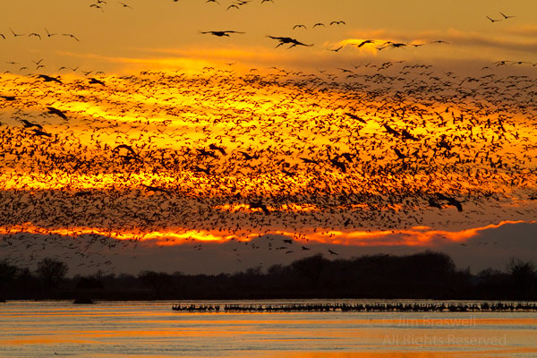 Sandhill Cranes landing on the Platte River in the sunset