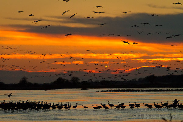 Sandhill Cranes roosting on the Platte River in the sunset