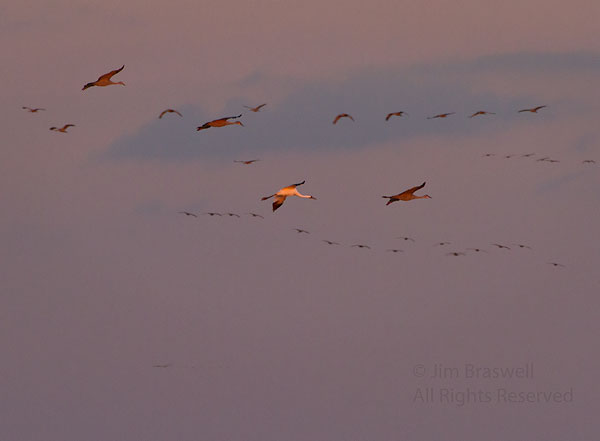 Whooping Crane flying to the Platte River to roost