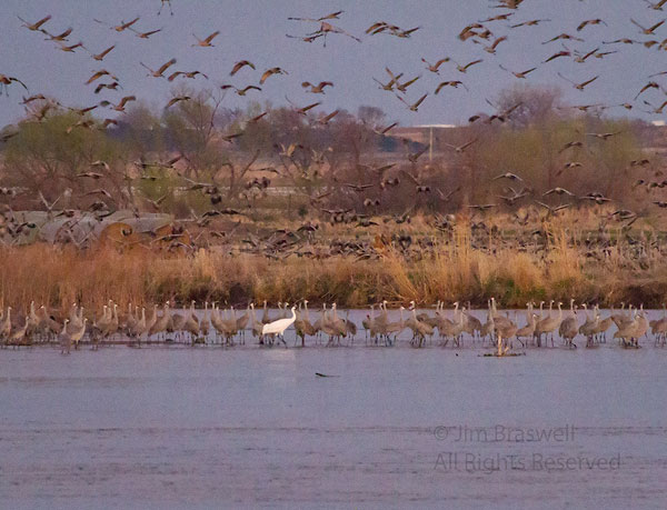 Whooping Crane roosting on the Platte River