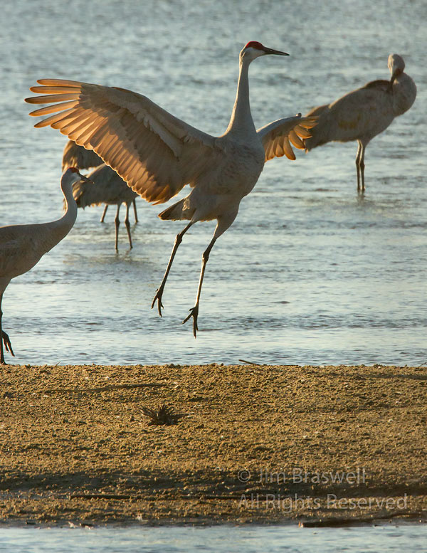 Sandhill Crane dancing on sandbar