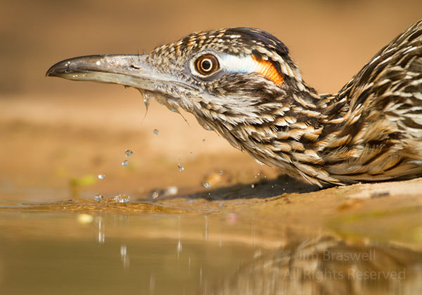 Greater Roadrunner getting a drink of water