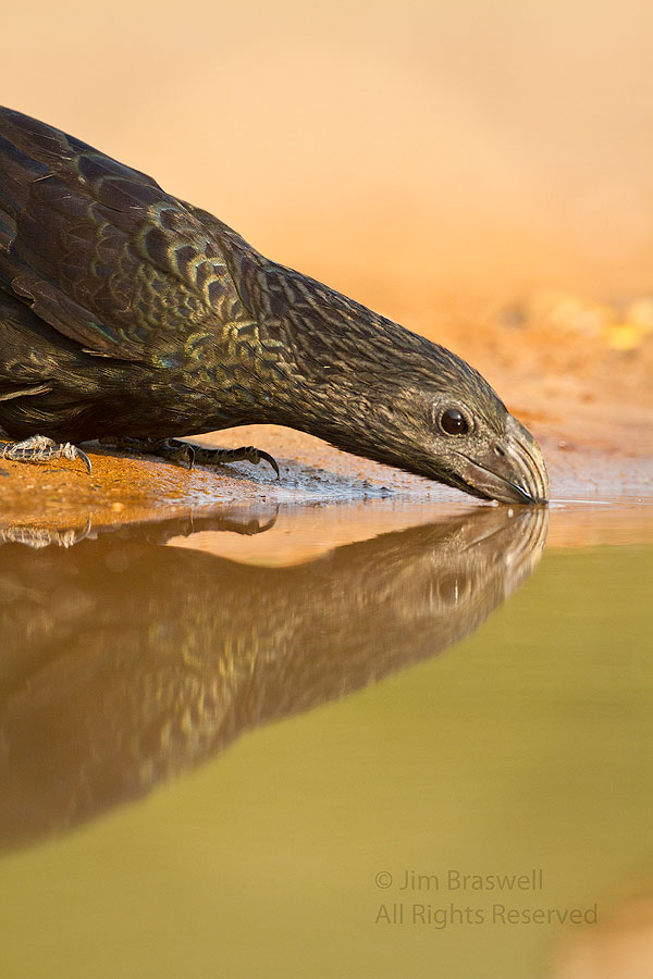 Groove-billed Ani drinking from a waterhole