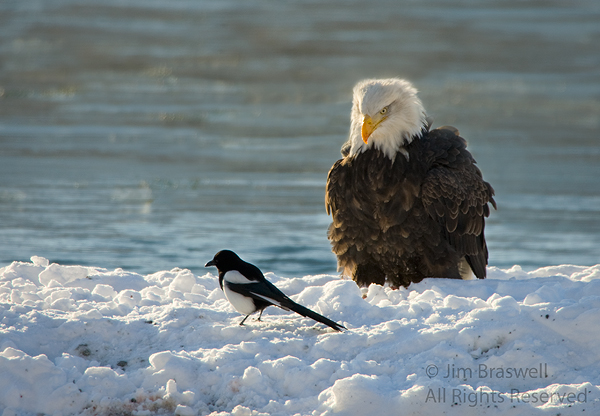 Bald Eagle watching Magpie