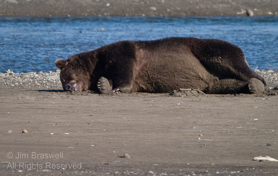Brown Bear napping after feasting on fish