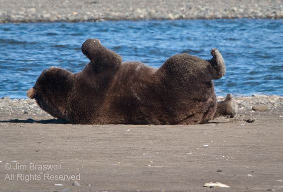 Brown Bear rolling onto his side
