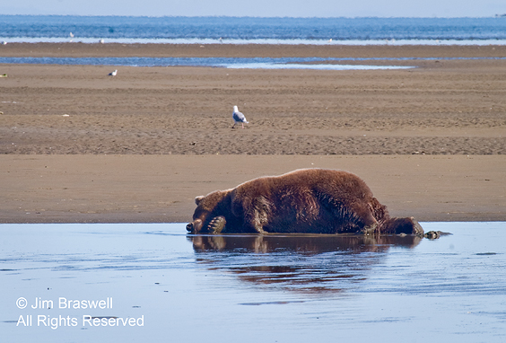Brown Bear napping in water