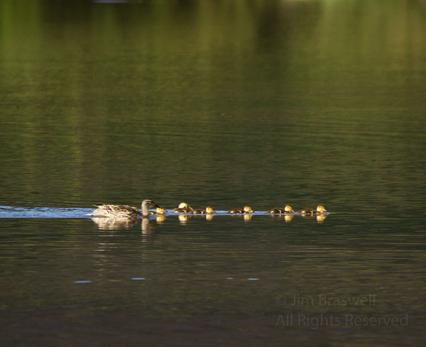 Momma duck with 7 ducklings