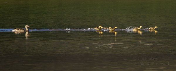 """Baby ducklings """"running on water"""" with mom behind them"""