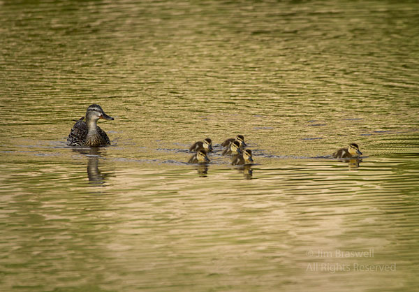 Momma duck and her ducklings