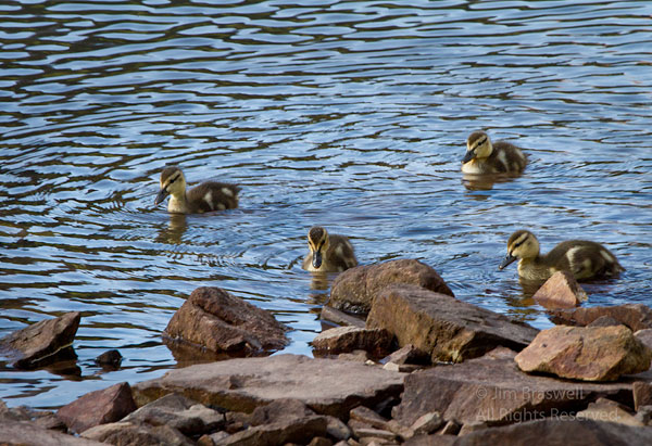 Young ducklings at the water's edge