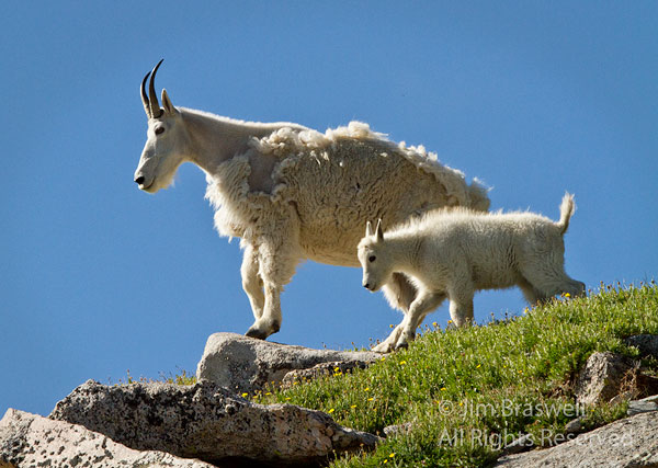 Mountain Goat ewe and kid, looking over the valley