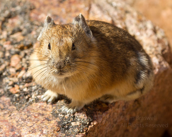 American Pika, sitting on a rock