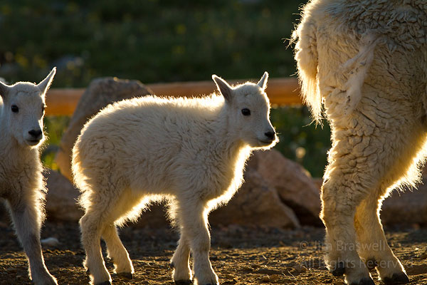Mountain Goats, backlit