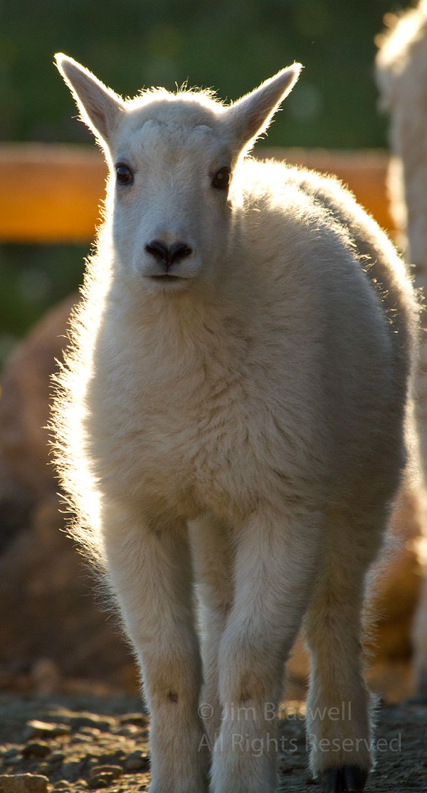 Young Mountain Goat kid, backlit