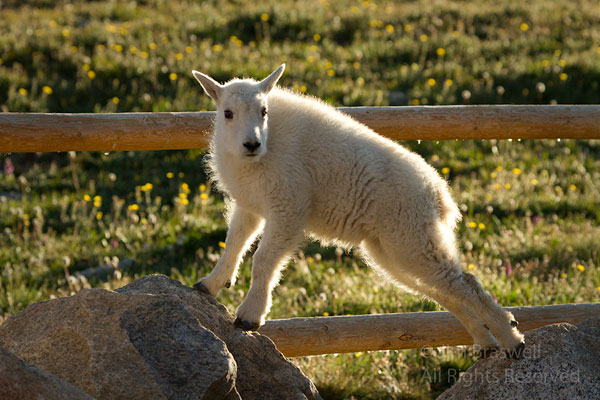 Mountain Goat kid, playing on some large boulders