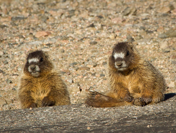 Pair of juvenile Yellow-bellied Marmots watching me