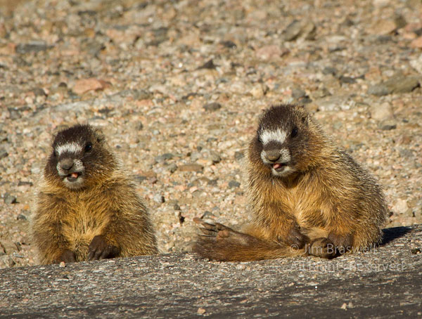 "Pair of juvenile Yellow-bellied Marmots ""smiling"" at me photographing them"