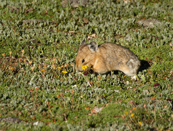 American Pika collecting wildflowers
