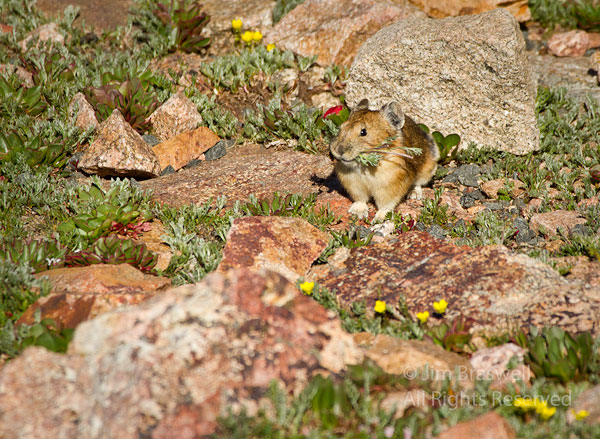 American Pika, collecting wildflowers