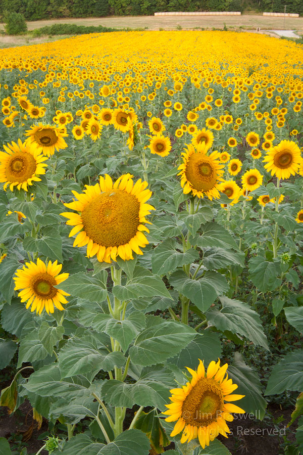 Sunflowers growing in a planted field