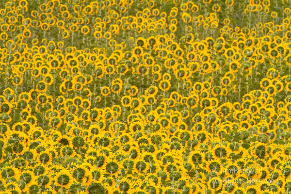 The backs of sunflowers growing in a Missouri field