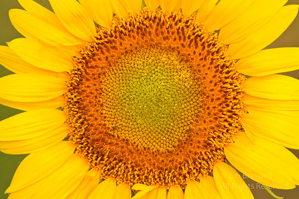 Closeup of a sunflower growing in a planted field