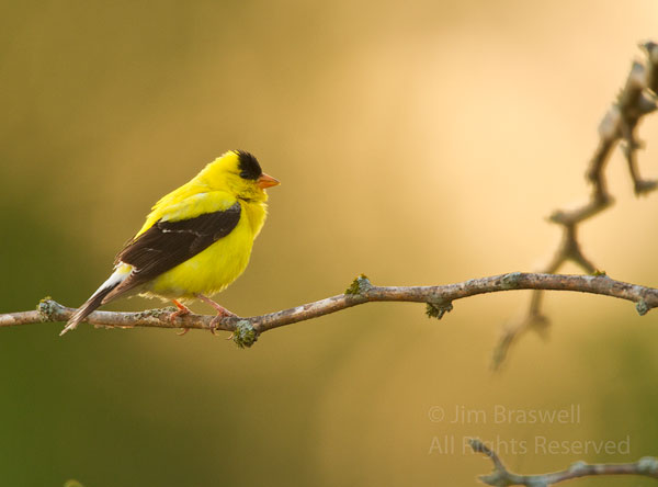 American Goldfinch male perched in a tree overlooking the sunflower field