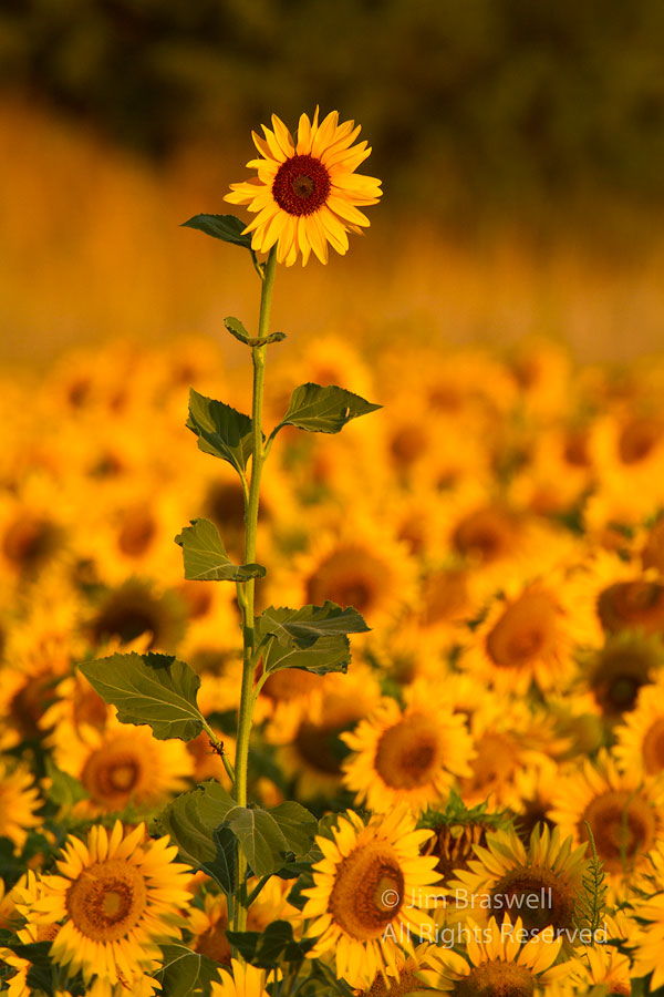 Sunflower growing in a planted field