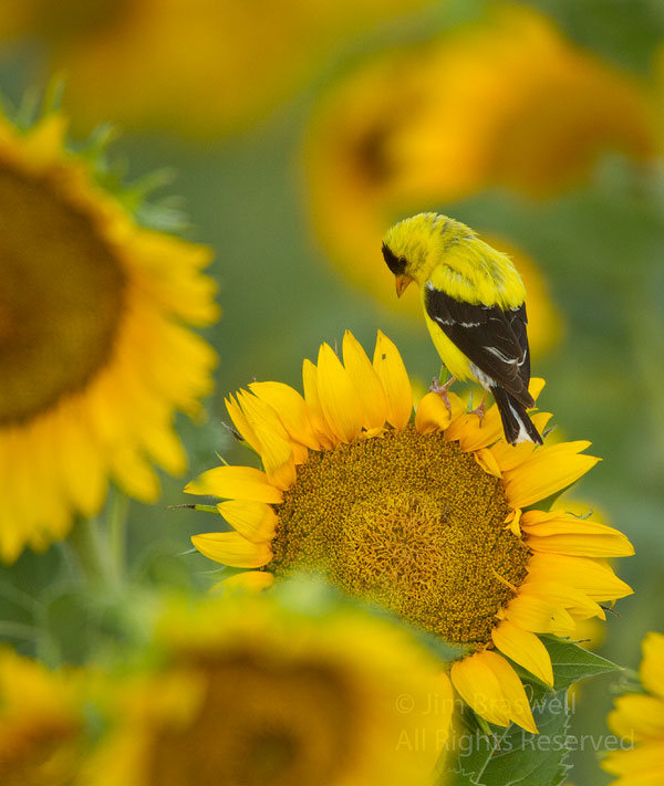 American Goldfinch male perched on a sunflower bloom