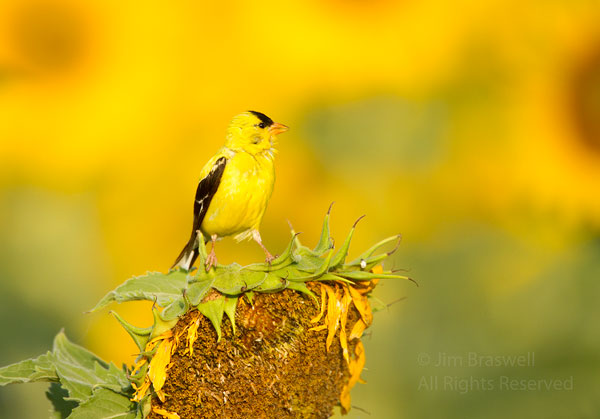 American Goldfinch male perched on a sunflower head
