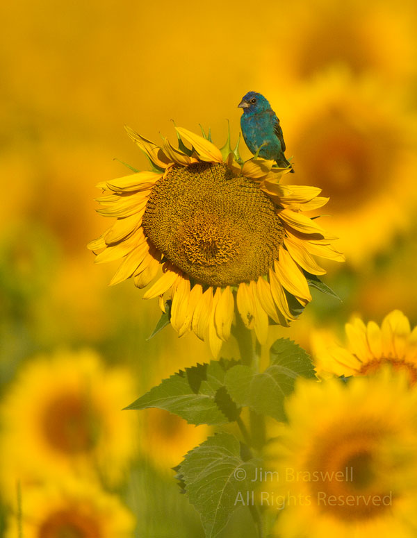 Male Indigo Bunting on a sunflower