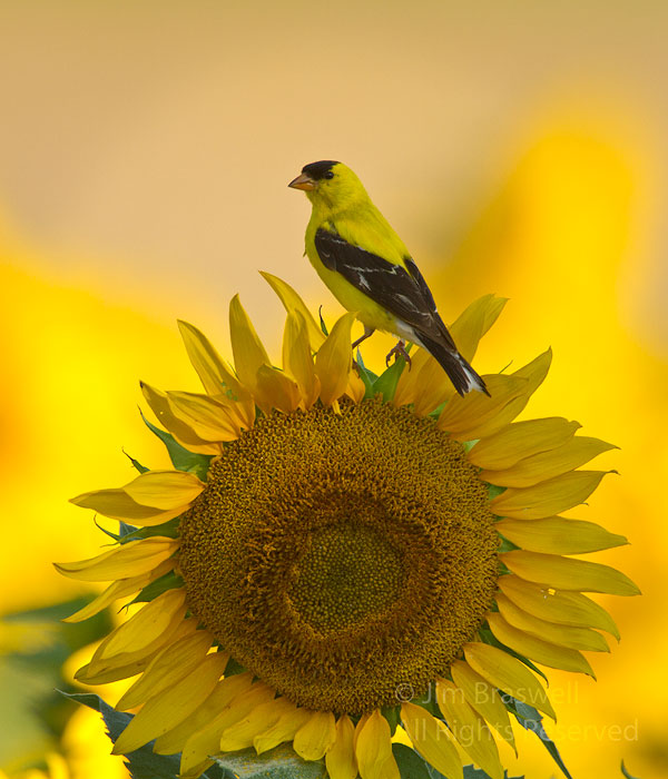 American Goldfinch male sitting on a sunflower bloom