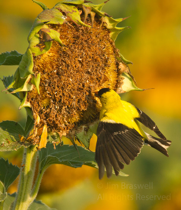 American Goldfinch male extracting seeds from the sunflower plant's seedhead