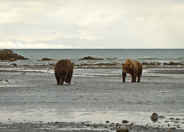 Brown Bears approach to play
